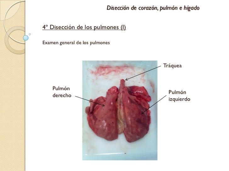 Disección de pulmón, corazón e hígado de cordero
