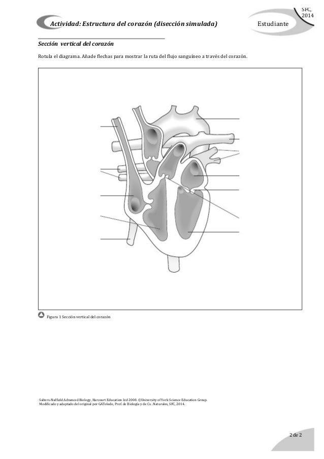 Disección del corazón (simulada)