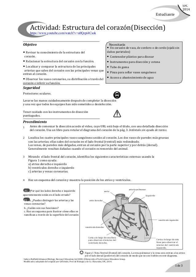 Disección de un corazón. guía