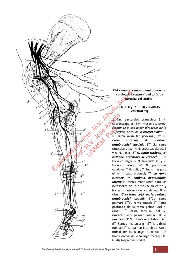 Facultad de Medicina Veterinaria © Universidad Nacional Mayor de San Marcos 8 Vista general semiesquemática de los nervios...