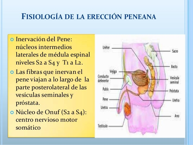 fisiologia de la ereccion masculina