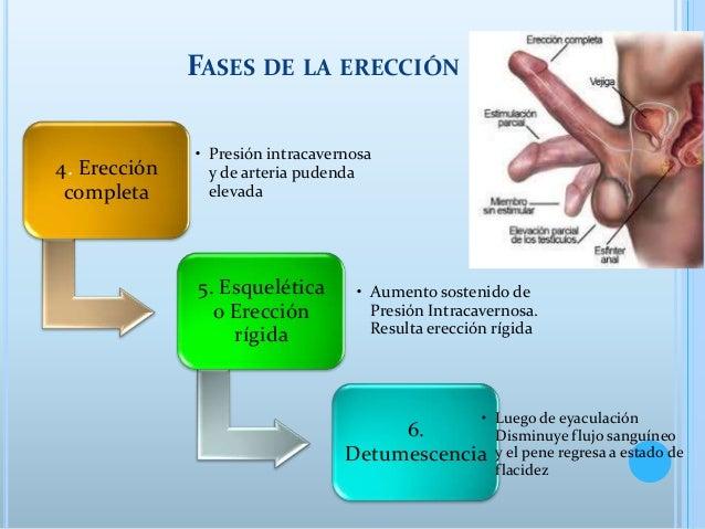 proceso de ereccion masculina
