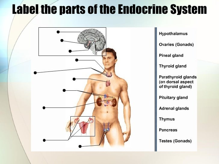 Label the parts of the Endocrine System