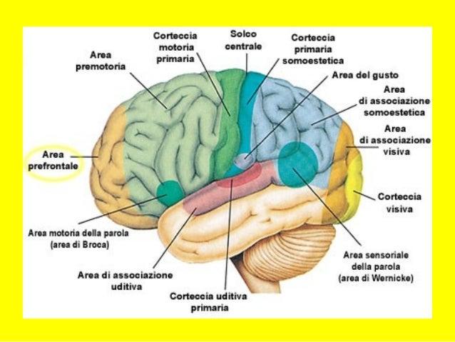 Ipotesi interpretative (III) • Circuito cortico –cerebellare Deficit di integrazione motoria-percettivo- temporale Non sa ...