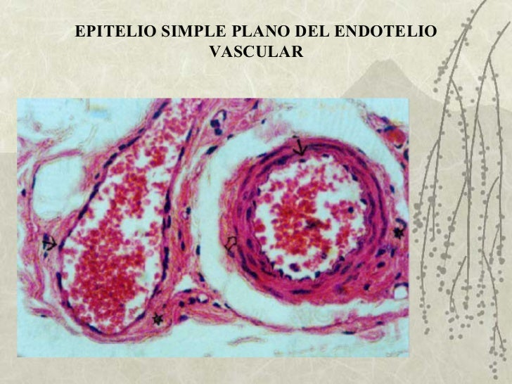 EPITELIO SIMPLE PLANO DEL ENDOTELIO VASCULAR