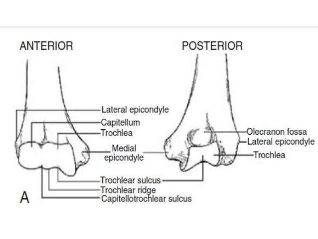 Distal Humerus Diagram - Electrical Work Wiring Diagram •