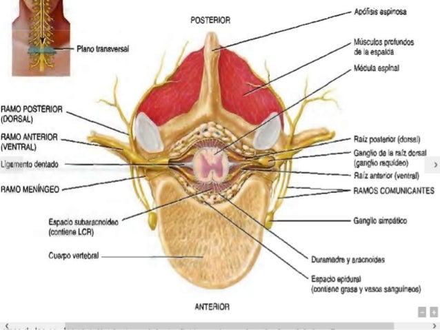 Distribucion de los nervios espinales alex