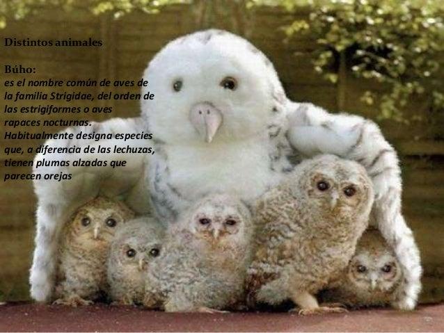 Distintos animales Búho: es el nombre común de aves de la familia Strigidae, del orden de las estrigiformes o aves rapaces...