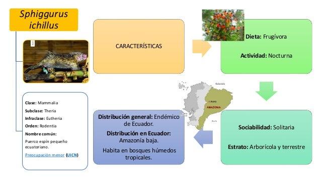 Sphiggurus ichillus Clase: Mammalia Subclase: Theria Infraclase: Eutheria Orden: Rodentia Nombre común: Puerco espín peque...