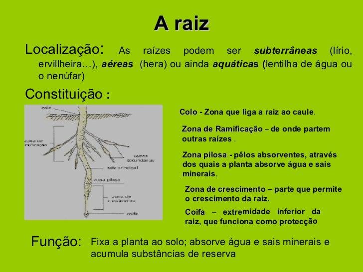 A raiz <ul><li>Localização :  As raízes podem ser  subterrâneas  (lírio, ervillheira…),  aéreas  ( hera)   ou ainda  aquát...