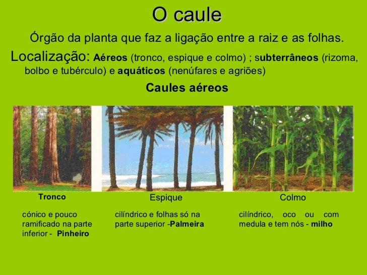 O caule <ul><li>Órgão da planta que faz a ligação entre a raiz e as folhas. </li></ul><ul><li>Localização:   Aéreos  (tron...