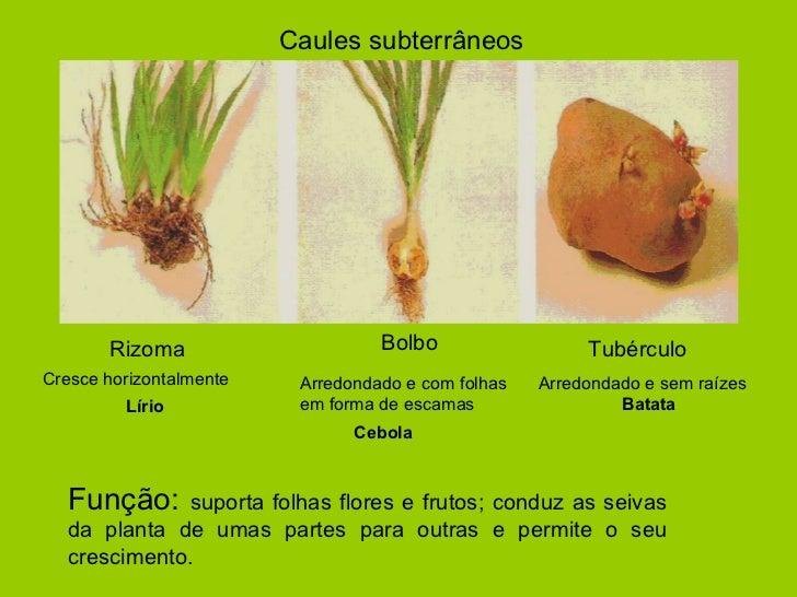 Caules subterrâneos Rizoma Cresce horizontalmente  Lírio Bolbo Tubérculo Arredondado e com folhas em forma de escamas  Ceb...