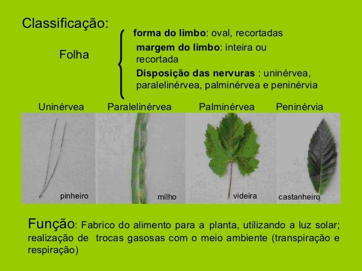 Classificação: forma do limbo : oval, recortadas margem do limbo : inteira ou recortada Disposição das nervuras  : uninérv...