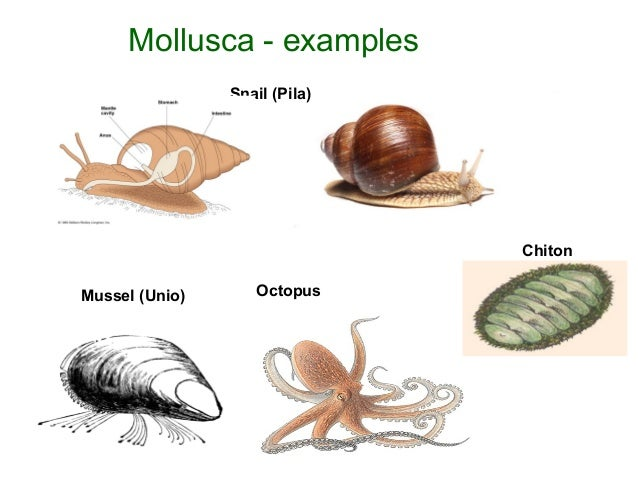 Image Gallery Mollusca Examples