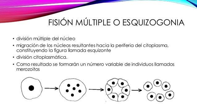 Fision binaria reproduccion asexual fision