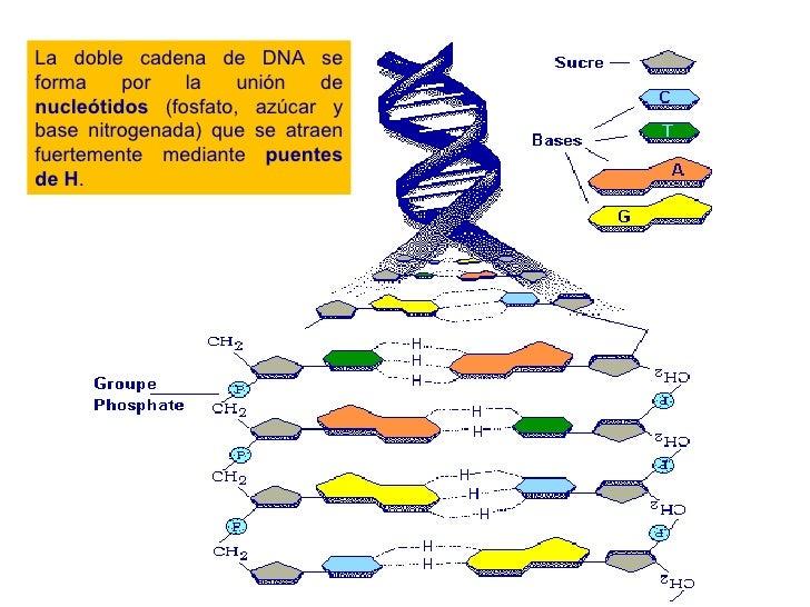 La doble cadena de DNA se forma por la unión de  nucleótidos  (fosfato, azúcar y base nitrogenada) que se atraen fuertemen...