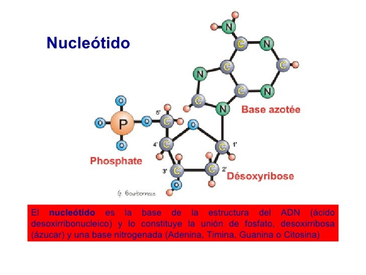 El  nucleótido  es la base de la estructura del ADN (ácido desoxirribonucleico) y lo constituye la unión de fosfato, desox...
