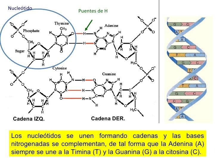 Los nucleótidos se unen formando cadenas y las bases nitrogenadas se complementan, de tal forma que la Adenina (A) siempre...