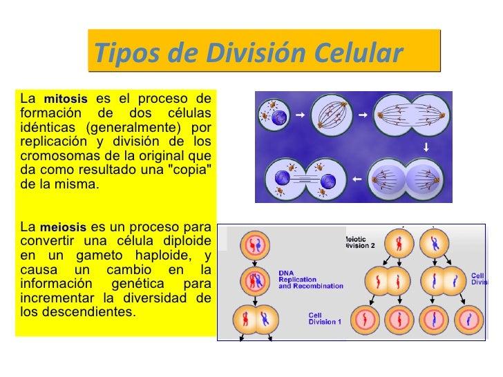 La  mitosis   es el proceso de formación de dos células idénticas (generalmente) por replicación y división de los cromoso...