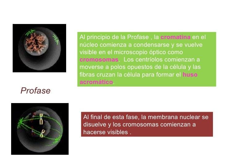 Al principio de la Profase , la  cromatina   en el núcleo comienza a condensarse y se vuelve visible en el microscopio ópt...