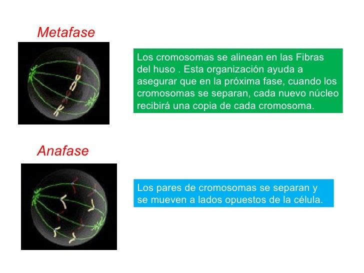 Los cromosomas se alinean en las Fibras del huso . Esta organización ayuda a asegurar que en la próxima fase, cuando los c...