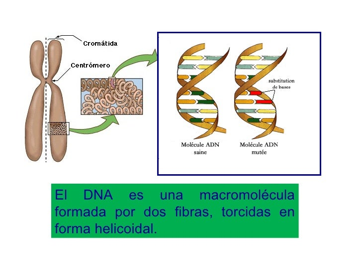 El DNA es una macromolécula formada por dos fibras, torcidas en forma helicoidal.