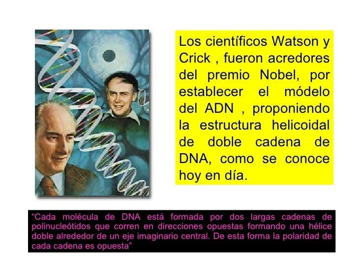 Los científicos Watson y Crick , fueron acredores del premio Nobel, por establecer el módelo del ADN , proponiendo la estr...