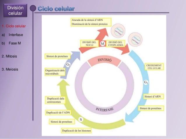 Division celular Slide 2