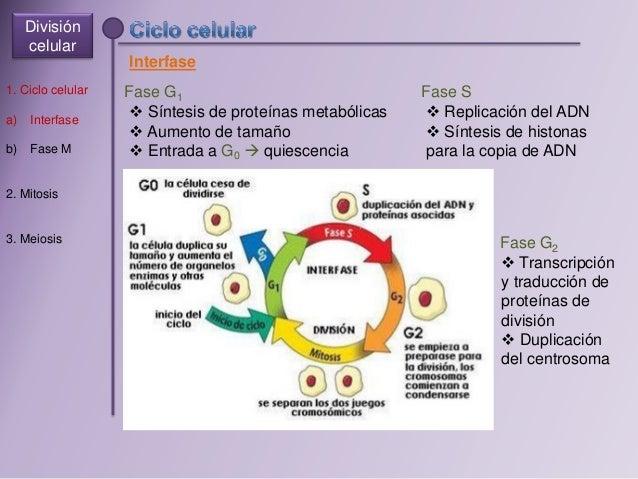 Division celular Slide 3