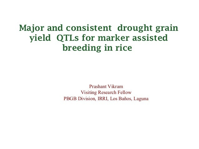 Major and consistentdrought grain  yieldQTLs for marker assisted         breeding in rice                    Prashant Vi...