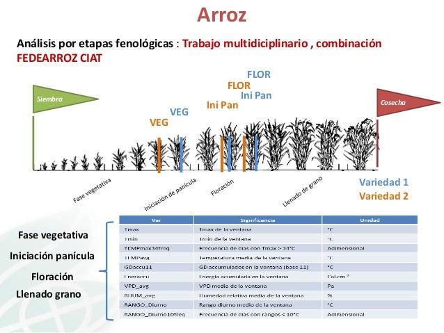 Arroz Análisis por etapas fenológicas : Trabajo multidiciplinario , combinación FEDEARROZ CIAT  Siembra  VEG  FLOR FLOR In...