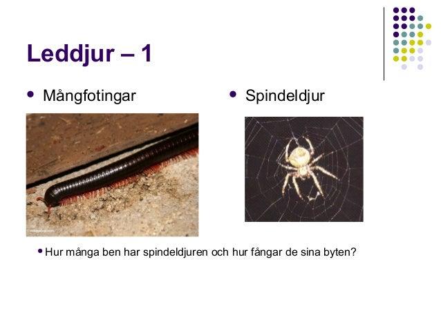 Leddjur – 1   Mångfotingar  Hur    Spindeldjur  många ben har spindeldjuren och hur fångar de sina byten?