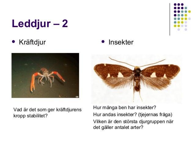 Leddjur – 2   Kräftdjur  Vad är det som ger kräftdjurens kropp stabilitet?    Insekter  Hur många ben har insekter? Hur ...