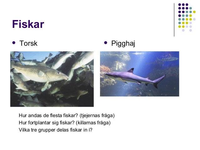 Fiskar   Torsk    Pigghaj  Hur andas de flesta fiskar? (tjejernas fråga) Hur fortplantar sig fiskar? (killarnas fråga) V...