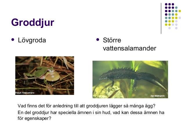 Groddjur   Lövgroda    Större vattensalamander  Vad finns det för anledning till att groddjuren lägger så många ägg? En ...