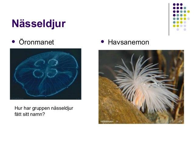 Nässeldjur   Öronmanet  Hur har gruppen nässeldjur fått sitt namn?    Havsanemon