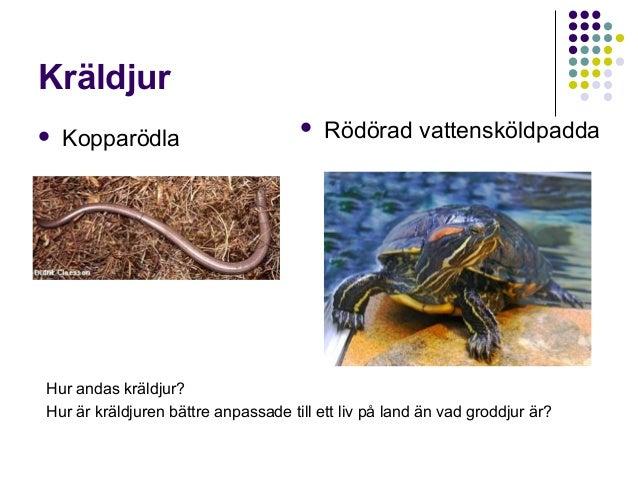 Kräldjur   Kopparödla    Rödörad vattensköldpadda  Hur andas kräldjur? Hur är kräldjuren bättre anpassade till ett liv p...