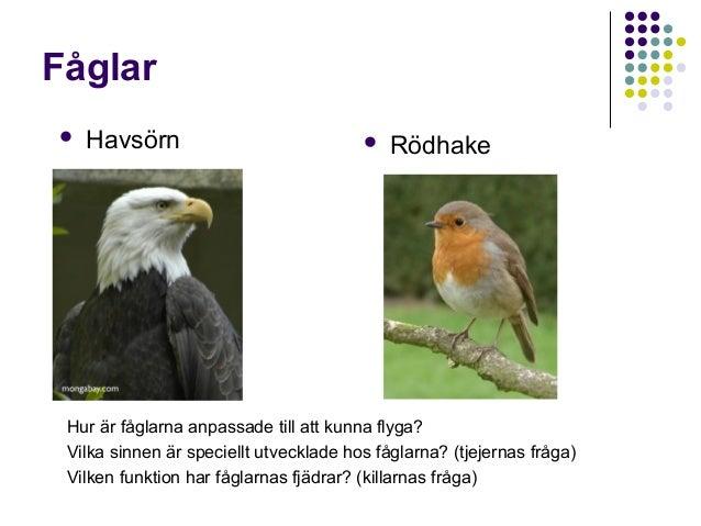 Fåglar   Havsörn    Rödhake  Hur är fåglarna anpassade till att kunna flyga? Vilka sinnen är speciellt utvecklade hos få...