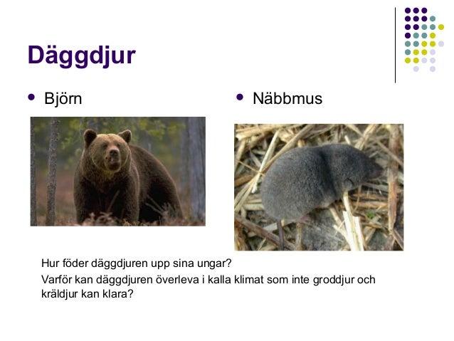 Däggdjur   Björn    Näbbmus  Hur föder däggdjuren upp sina ungar? Varför kan däggdjuren överleva i kalla klimat som inte...