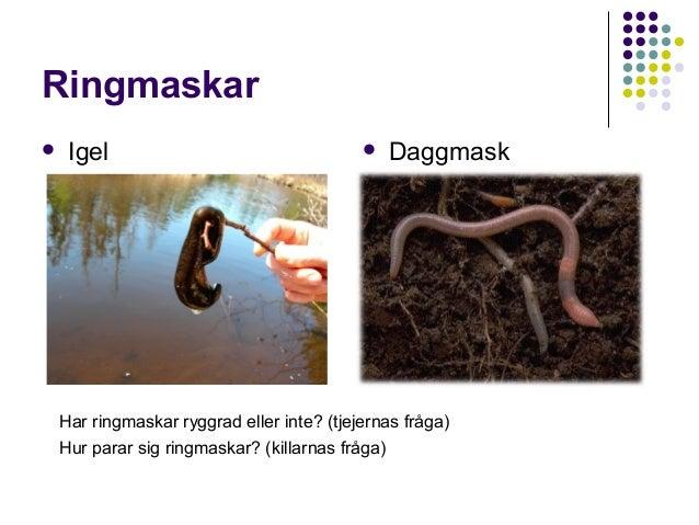 Ringmaskar   Igel    Daggmask  Har ringmaskar ryggrad eller inte? (tjejernas fråga) Hur parar sig ringmaskar? (killarnas...