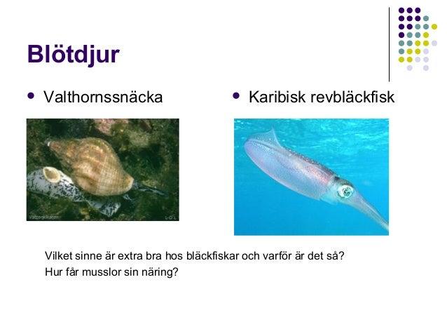 Blötdjur   Valthornssnäcka    Karibisk revbläckfisk  Vilket sinne är extra bra hos bläckfiskar och varför är det så? Hur...