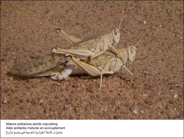 Mature solitarious adults copulating  Ailés solitaires matures en accouplement  تزاوج وضع فى ناضجة انفرادية كام...