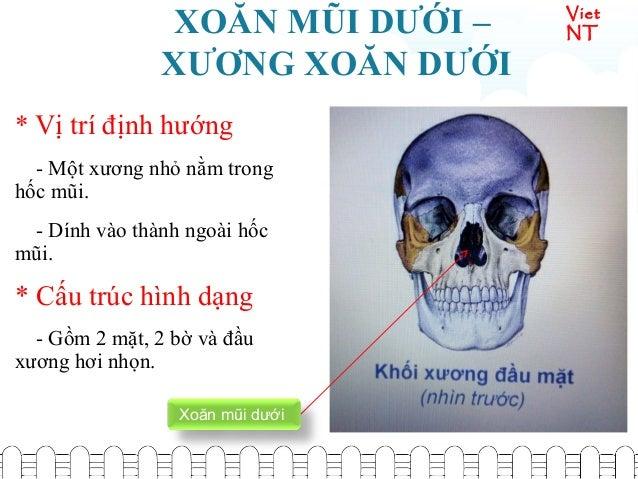 Viet NTXOĂN MŨI DƯỚI – XƯƠNG XOĂN DƯỚI * Vị trí định hướng - Một xương nhỏ nằm trong hốc mũi. - Dính vào thành ngoài hốc m...