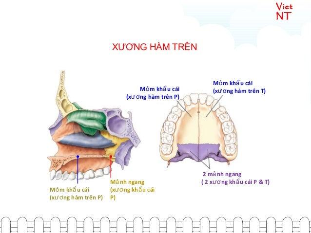 Viet NT M m kh u cáiỏ ẩ (x ng hàm trên P)ươ M m kh u cáiỏ ẩ (x ng hàm trên T)ươ 2 m nh ngangả ( 2 x ng kh u cái P & T)ươ ẩ...