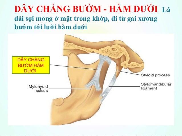 Viet NTDÂY CHẰNG TRÂM – HÀM DƯỚI Đi từ mỏm trâm xương thái dương tới góc và bờ sau ngành xương hàm dưới DÂY CHẰNG TRÂM-HÀM...
