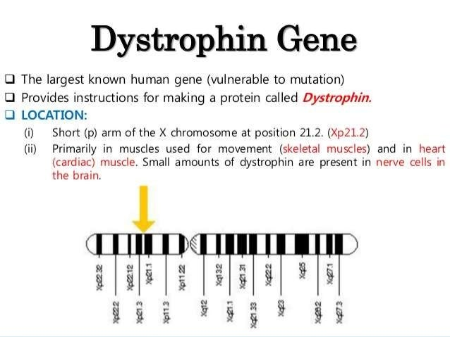 Gene therapy for muscular dystrophy