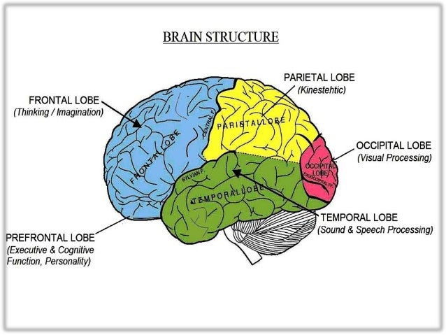 Multiple Intelligences Brain Diagram - Enthusiast Wiring Diagrams •