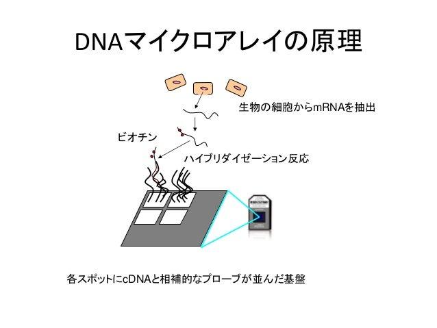 DNAマイクロアレイの原理生物の細胞からmRNAを抽出ハイブリダイゼーション反応各スポットにcDNAと相補的なプローブが並んだ基盤ビオチン