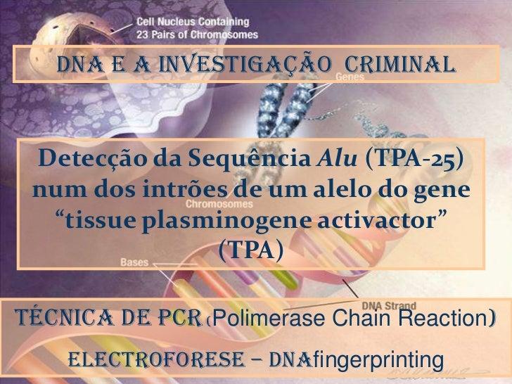 """DNA e a Investigação  criminal<br />DNA<br />Detecção da Sequência Alu (TPA-25) num dos intrões de um alelo do gene """"tissu..."""