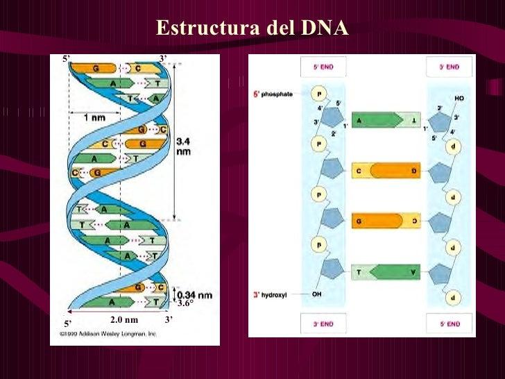 Estructura del DNA 5' 5' 3' 3' 2.0 nm 3.6°